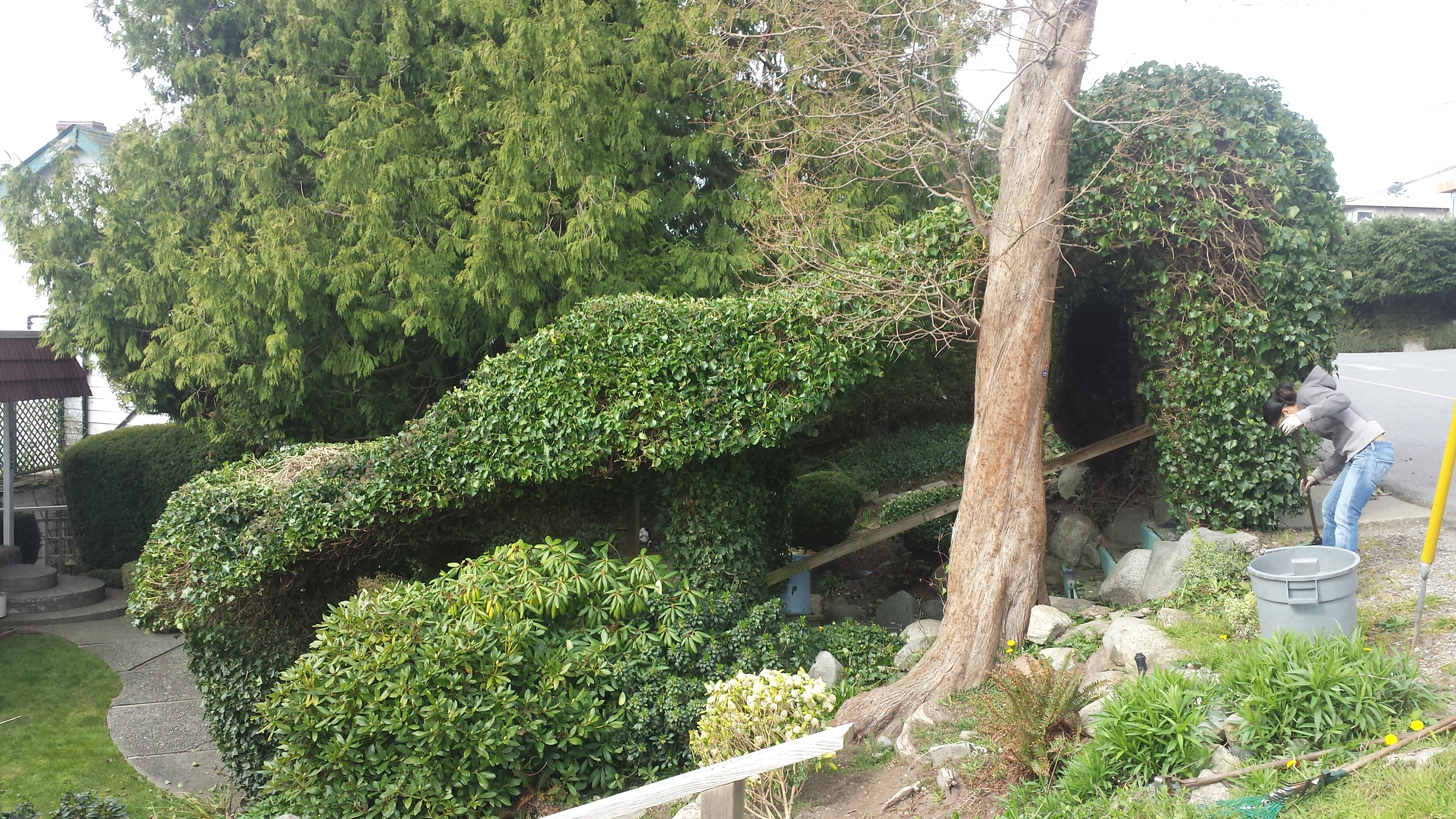 ivy hedge, hedge trimming, tree pruning