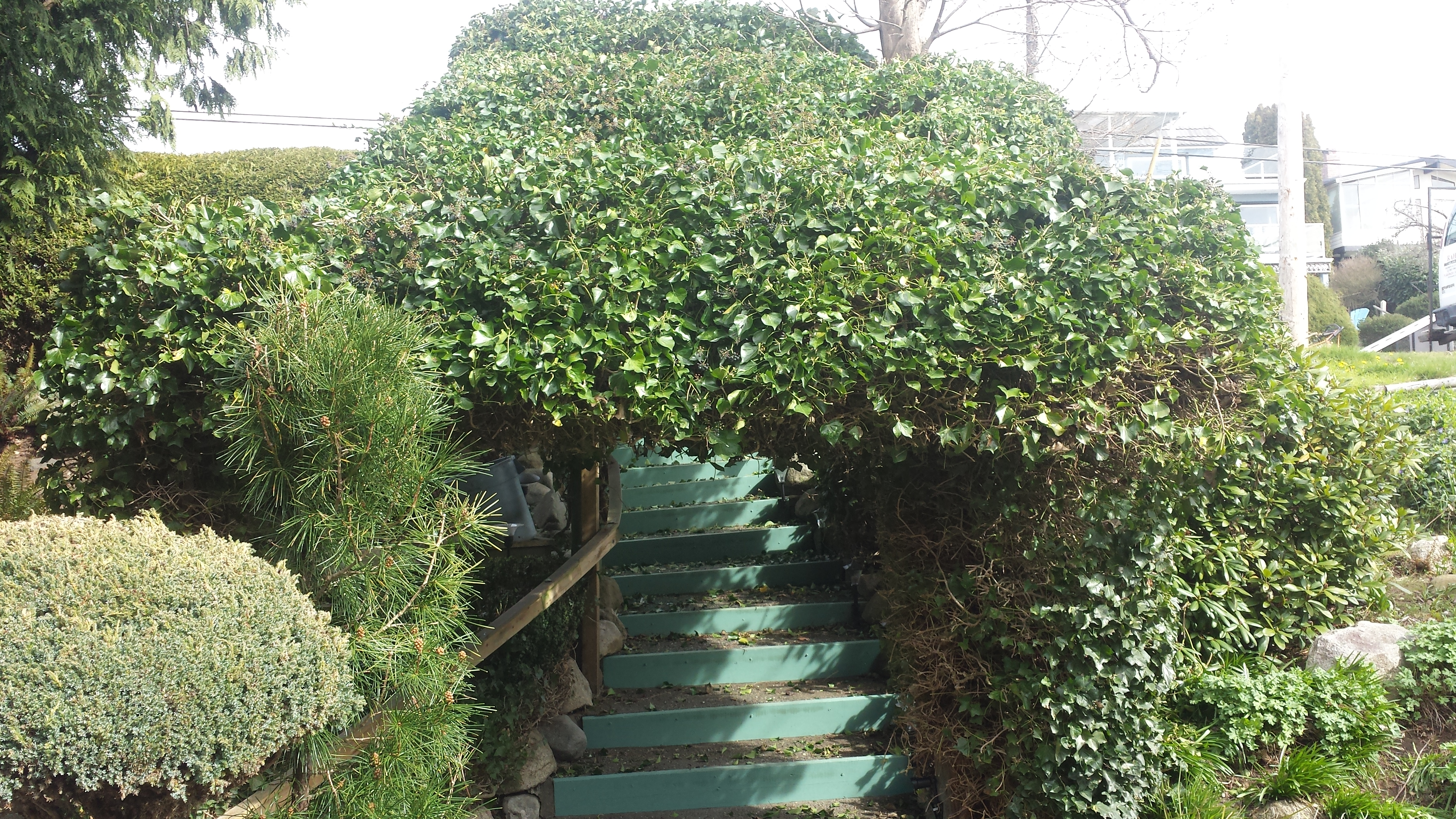 ivy hedge, hedge trimming, shrub shaping