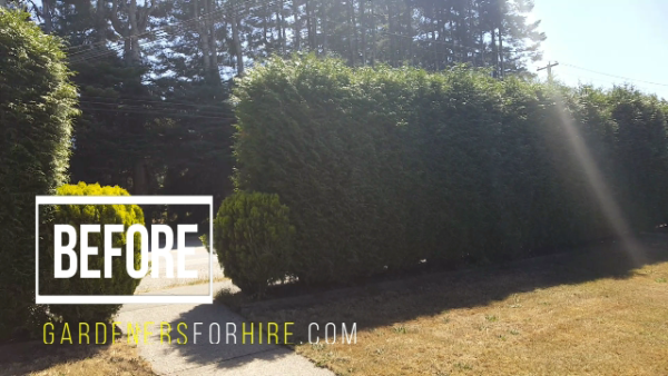 cedar hedge trimming, before, gardeners for hire