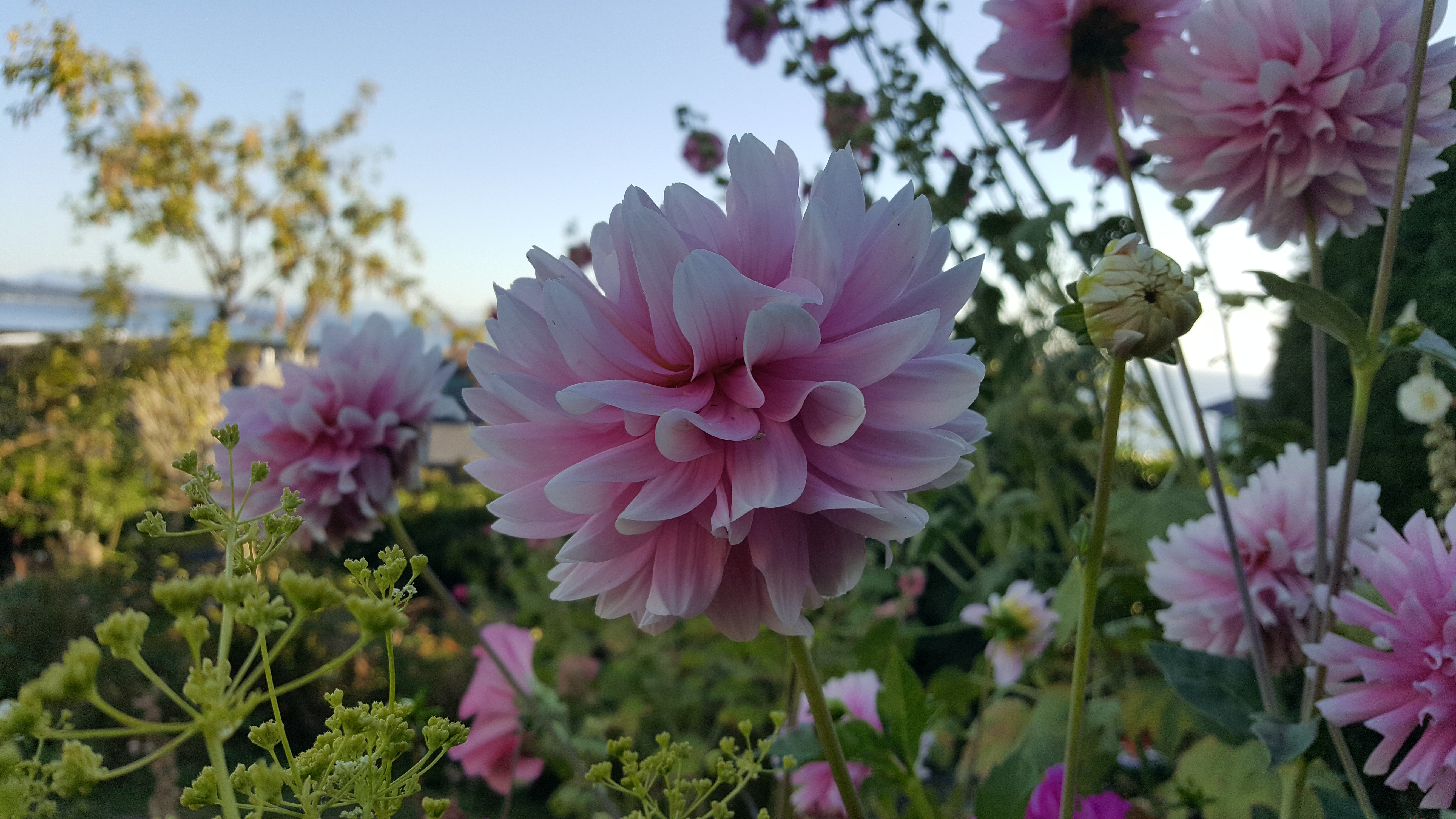 Flowers gardeners for hire dahlia garden flower summer pink mightylinksfo